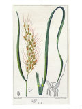Rice, c.1820 Giclee Print by Pierre Jean Francois Turpin