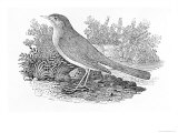 The Nightingale Giclee Print by Thomas Bewick