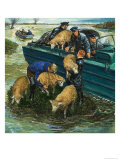 Rescuing Sheep from a Flooded Field Giclee Print by Clive Uptton