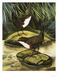 The Dipper, Also Known as the Water Ousel Giclee Print by David Pratt