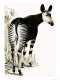 Okapi Giclee Print