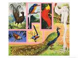 Unidentified Birds of Paradise Giclee Print by Harold Tamblyn-watts