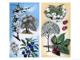 All Sorts of Wild Fruit Trees: Blackthorn and Wild Cherry Giclee Print by David Pratt