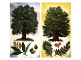Trees You Can See: Holm Oak and Yew Giclee Print by David Pratt