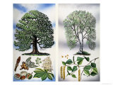 Trees You Can See: Horse Chestnut and Silver Birch Giclee Print by David Pratt