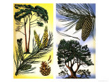 All Sorts of Pine and Fir Trees: Scots Pine and Maritime Pine Giclee Print by David Pratt