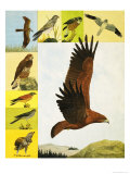 Animal Families: Birds of Prey Giclee Print by Kenneth Lilly