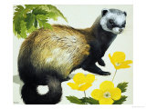 The Polecat Giclee Print by Kenneth Lilly