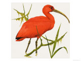 I For Ibis Giclee Print by Kenneth Lilly