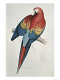 Red and Yellow Macaw Giclee Print by Edward Lear
