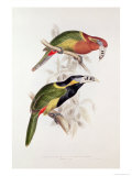 Spotted Bill Aracari Giclee Print by Edward Lear