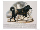 The Esquimaux Dog Reproduction proc&#233;d&#233; gicl&#233;e par Josiah Wood Whymper