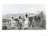 Negroes Cutting Sugar Cane on a Jamaican Plantation, 1825 Giclee Print
