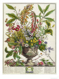 January, from Twelve Months of Flowers, by Robert Furber Giclee Print by Pieter Casteels