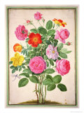 Roses, Plate 4 from the Nassau Florilegium Giclee Print by Johann Jakob Walther