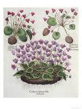 Cyclamen: Cyclamen Serotinum, Cyclaminus Longius, Cyclamen Vulgare, and Hortus Eystettensis Giclee Print