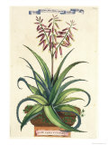 Aloe Vera Vulgaris, from Phytographia Curiosa, Published 1702 Giclee Print by Abraham Munting
