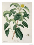 Camellia Thea from Phytographie Medicale by Joseph Roques Giclee Print by L.f.j. Hoquart