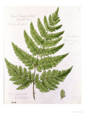 Broad Prickly-Toothed Buckler Fern, Painted at Brantwood, 6/7th December 1857 Giclee Print by William James Linton