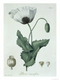 Papaver Somniferum from Phytographie Medicale by Joseph Roques Giclee Print by L.f.j. Hoquart