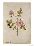 Rosa Canina - Dogrose and Caterpillar Giclee Print by Jacques Le Moyne