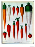 Carrots, Table IV from the Album Benary, Engraved by G. Severeyns, 1876 Giclee Print by Ernst Benary