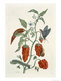 Comfrey, from A Curious Herbal, 1782 Giclee Print by Elizabeth Blackwell