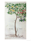 Plum Tree, a Botanical Plate from the Herbarium by Leonhart Fuchs Giclee Print