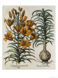 Lilium Purpureum Mauis Do Danei and Scapus Cum Bulbo Engraved by German School, 1713 Giclee Print by Besler Basilius