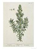 Rosmarinus Officinalis, from 'A Curious Herbal', 1782 Giclee Print by Elizabeth Blackwell