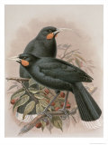 Huia, Illustration from A History of the Birds of New Zealand by W.L. Buller, 1887-88 Giclee Print by Johan Gerard Keulemans