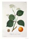 Strychnos Nux Vomica from Phytographie Medicale by Joseph Roques Giclee Print by L.f.j. Hoquart