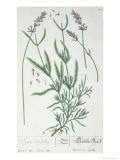 Lavender Spike, Plate from Herbarium Blackwellianum by the Artist, 1757 Giclee Print by Elizabeth Blackwell