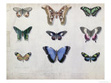 Butterflies from Brazil and Guyana, Mid 19th Century Giclee Print by Edouard Travies