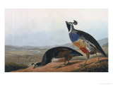 Californian Partridge, from Birds of America, Engraved by Robert Havell Giclee Print by John James Audubon