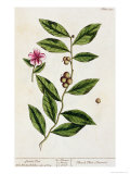 Green Tea, Plate 351 from A Curious Herbal, Published 1782 Giclee Print by Elizabeth Blackwell