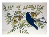 American Crow, from Birds of America Giclee Print by John James Audubon