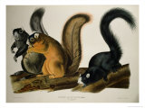 Fox Squirrel, from Quadrupeds of America, 1845 Giclee Print by John James Audubon
