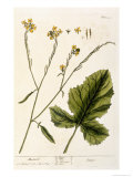 Mustard, Plate 446 from A Curious Herbal, Published 1782 Giclee Print by Elizabeth Blackwell