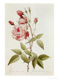 Rosa Indica Vulgaris, from Les Roses by Claude Antoine Thory Giclee Print by Pierre-Joseph Redouté