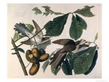 Yellow-Billed Cuckoo, from Birds of America, Engraved by William Home Lizars Giclee Print by John James Audubon