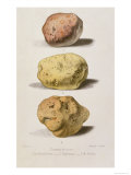 Botanical Plate with Three Different Varieties of Potato, Engraved by G. Severeyns Giclee Print by L. Rouyer