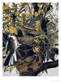 Mocking Birds and Rattlesnake, from Birds of America, Engraved by Robert Havell Giclee Print by John James Audubon