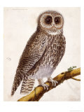 Owl, from Histoire Naturelle Des Oiseaux by Georges de Buffon Giclee Print by Francois Nicolas Martinet