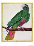 Parrot, from Histoire Naturelle Des Oiseaux by Georges de Buffon Giclee Print by Francois Nicolas Martinet