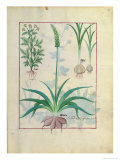 Garlic and Other Plants, The Book of Simple Medicines by Mattheaus Platearius Giclee Print by Robinet Testard