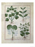 Marshmallow and Hastula Regia, Asarabacca and Speedwell, Simple Book of Medicines Giclee Print by Robinet Testard