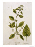 Balm, Plate 27 from A Curious Herbal, Published 1782 Giclee Print by Elizabeth Blackwell