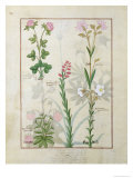 Red Clover and Aube.B: Bellidis, Onobrychis and Hyssopus, The Book of Simple Medicines Giclee Print by Robinet Testard