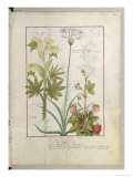 Consiligo, Burreed and Strawberry, The Book of Simple Medicines, Platearius Giclee Print by Robinet Testard